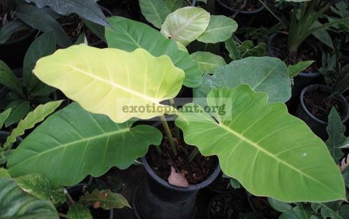 Philodendron Moonlight x serratum No.1 40