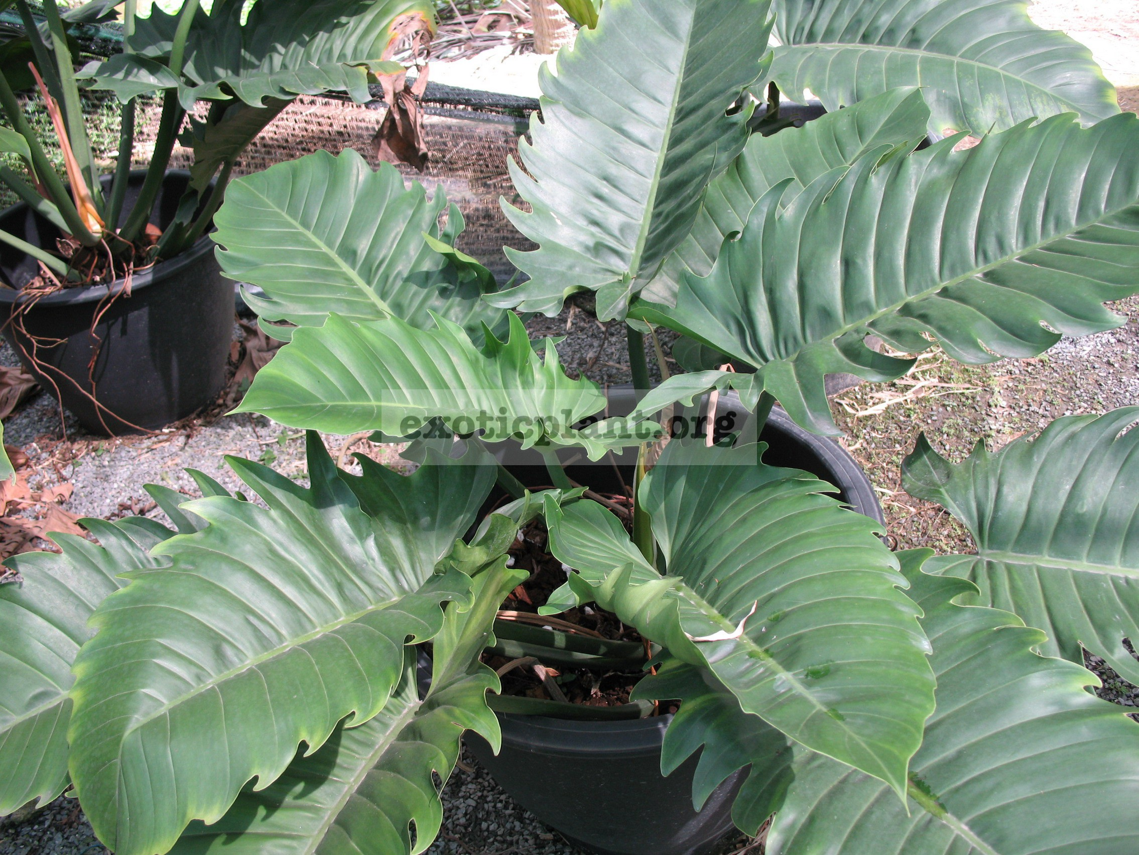 Philodendron Pin Amphan 14-20