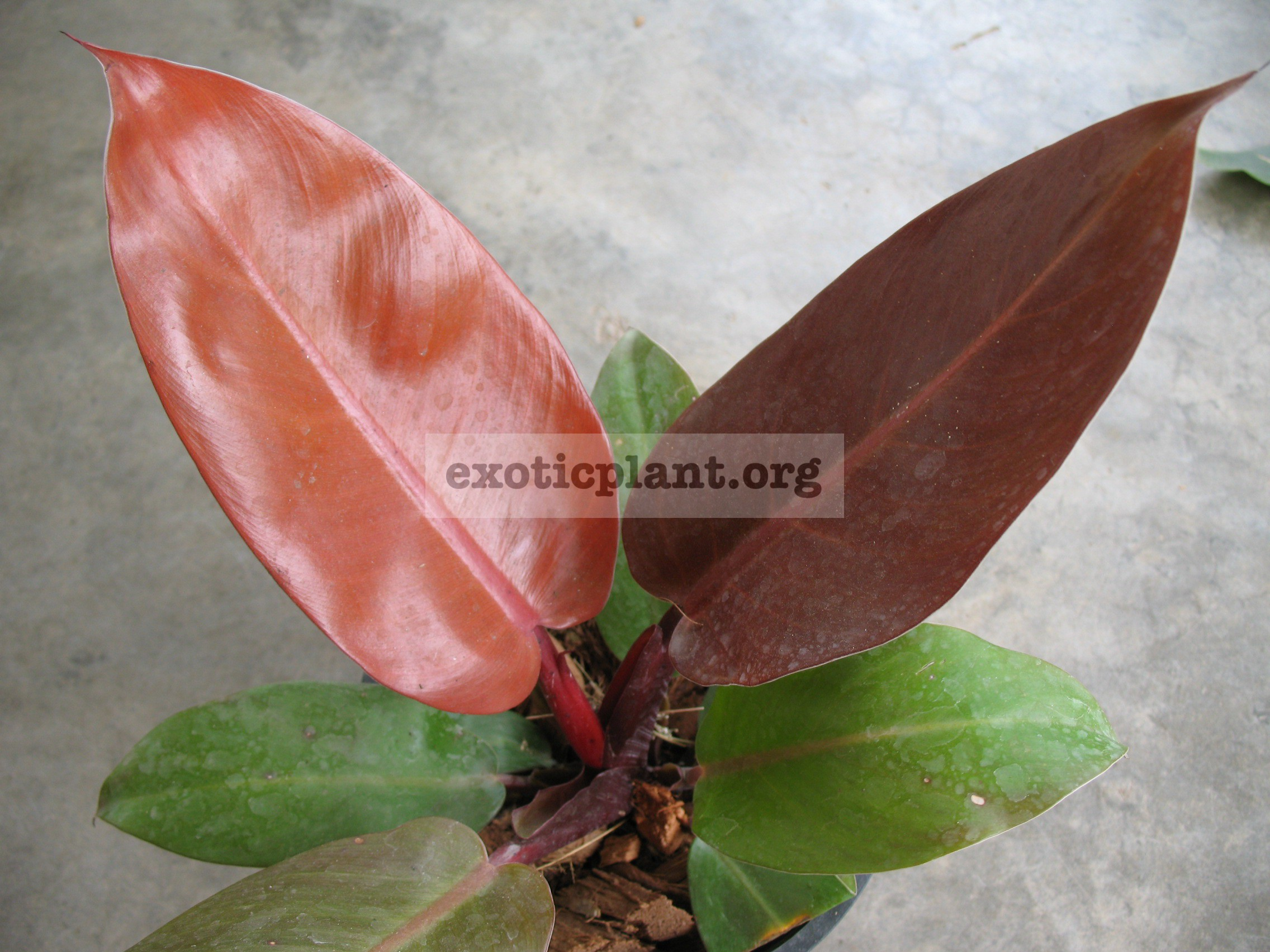 Philodendron Siam Red 18-25