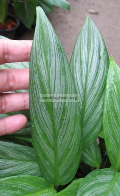 Philodendron Silver Spirit 20-30