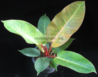 Philodendron Sunlight Tricolor 30