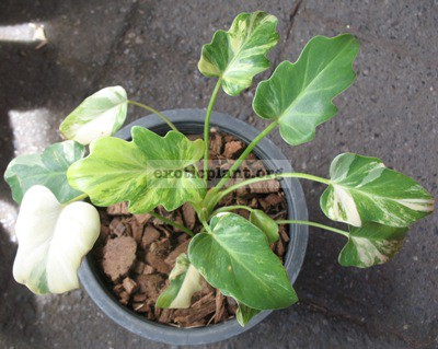 Philodendron Xanadu (small leaf) variegated 90-120