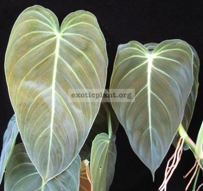 Philodendron andreanum / Филодендрон Андрэ (слева) и  Philodendron  longifolia  / филодендрон лонгифолия (справа) – сравнительное фото