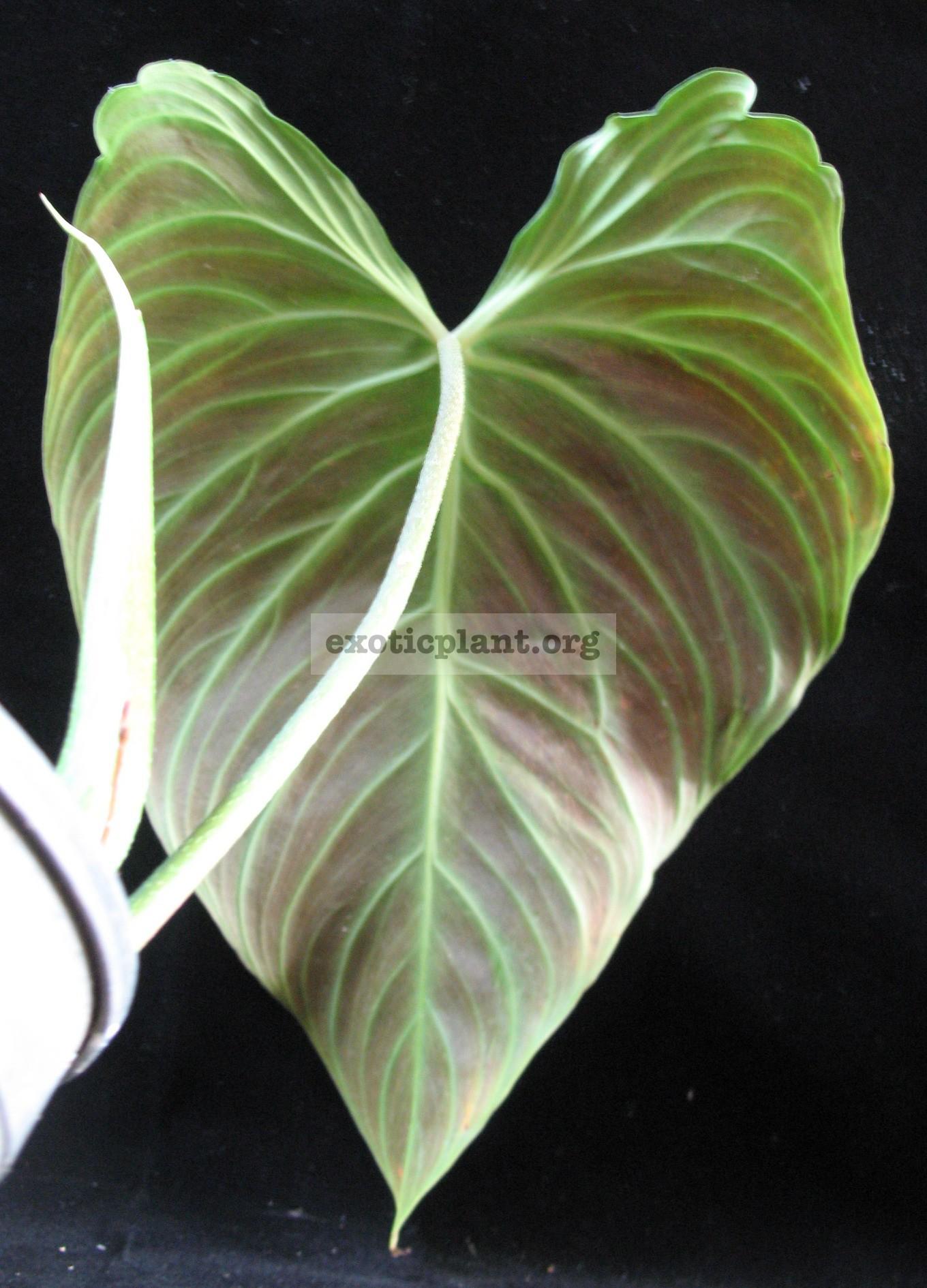 Philodendron andreanum x verrucosum /  гибрид филодендрона Андрэ и филодендрона веррукозума (бородавчатого) 44
