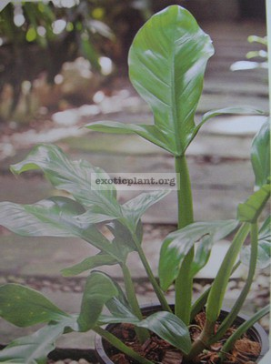 Philodendron applanatum / филодендрон аппланатум 25