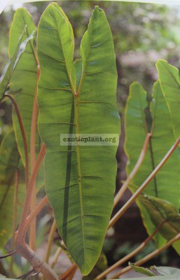 Philodendron billetiae (orange petiole) 30-45