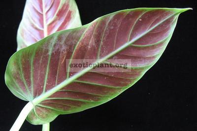 Philodendron sp.(T13) cruentum 20