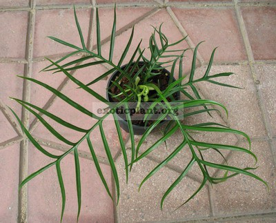 Philodendron elegans 20-35