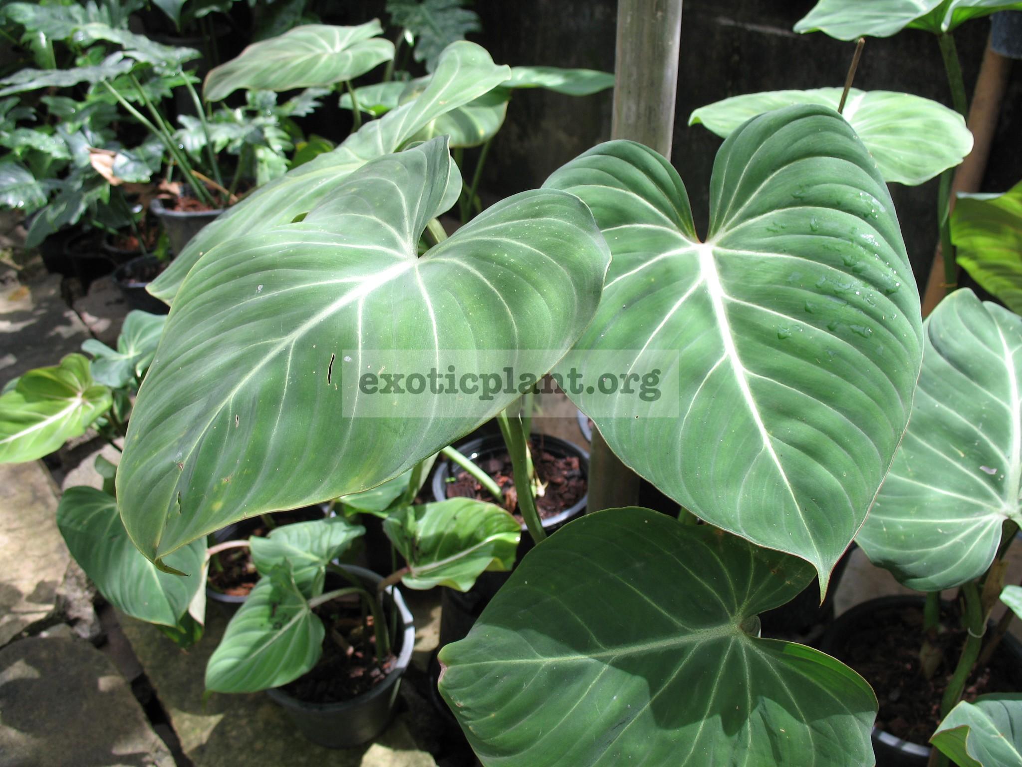 Philodendron gloriosum clone 1    20-50-75 по цене 20 временно недоступен