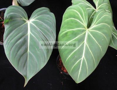 Philodendron gloriosum (слева №1, справа №2)