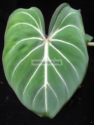 Philodendron gloriosum clone 2 20