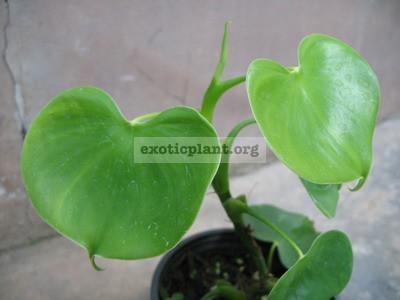 Philodendron grazielae 20