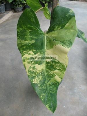 Philodendron hastatum Siam Sunrise 60-80