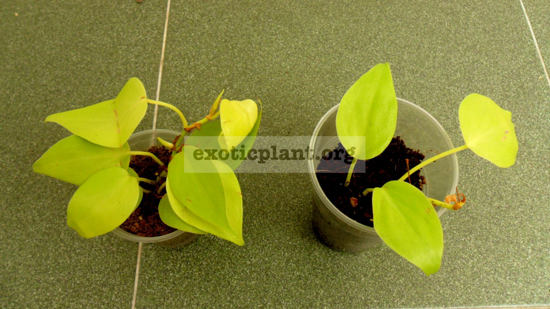 philodendron hederaceum aureum 10-20
