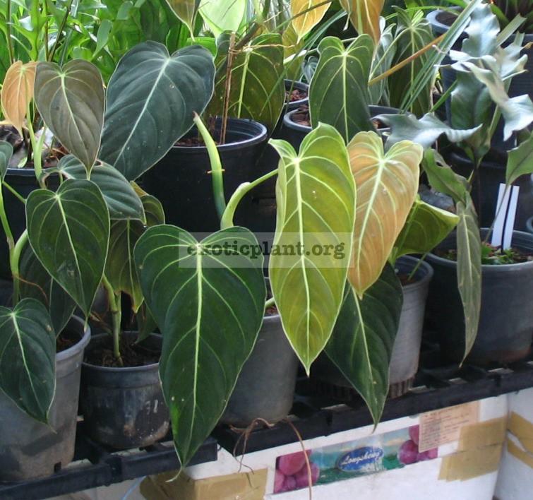 Philodendron longifolia 40-80
