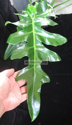 Philodendron magnificum (Bob See) 30