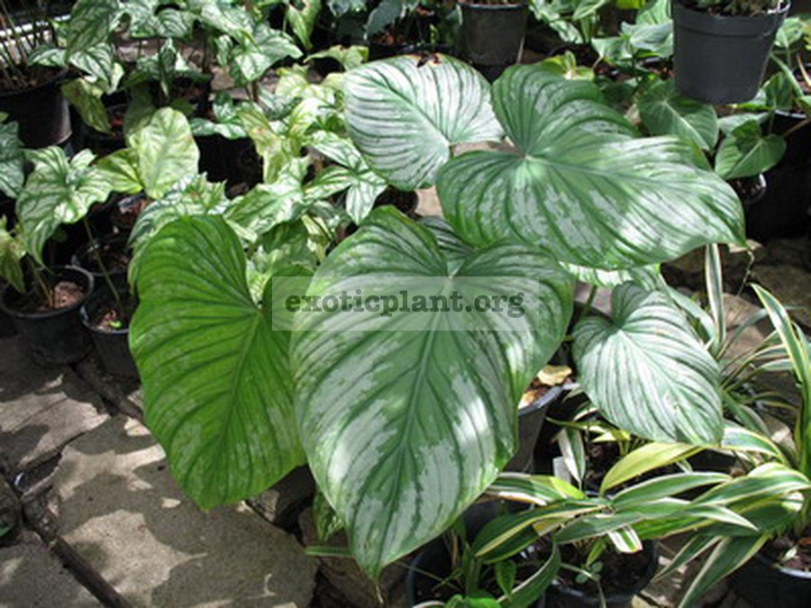 Philodendron mamei 20