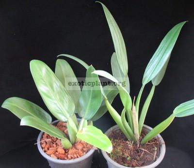 Philodendron martianum (short petiole)(L)   сравнение двух клонов   справа обычный фил мартиуса, слева   клон с укороченными черешками