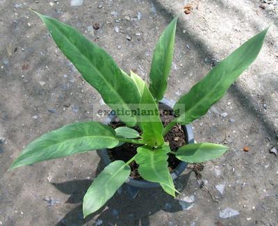 Philodendron pinnatifidum Splash 100