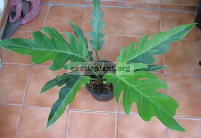Philodendron pinnatifidum Twotone 120