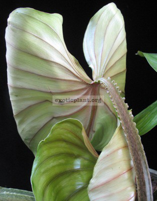 Philodendron plowmanii 35