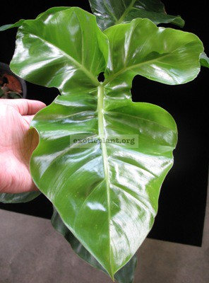 Philodendron sp.(T20) = rothschuhianum Costa Rica 45