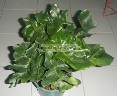 Philodendron selloum  Dwarf  20