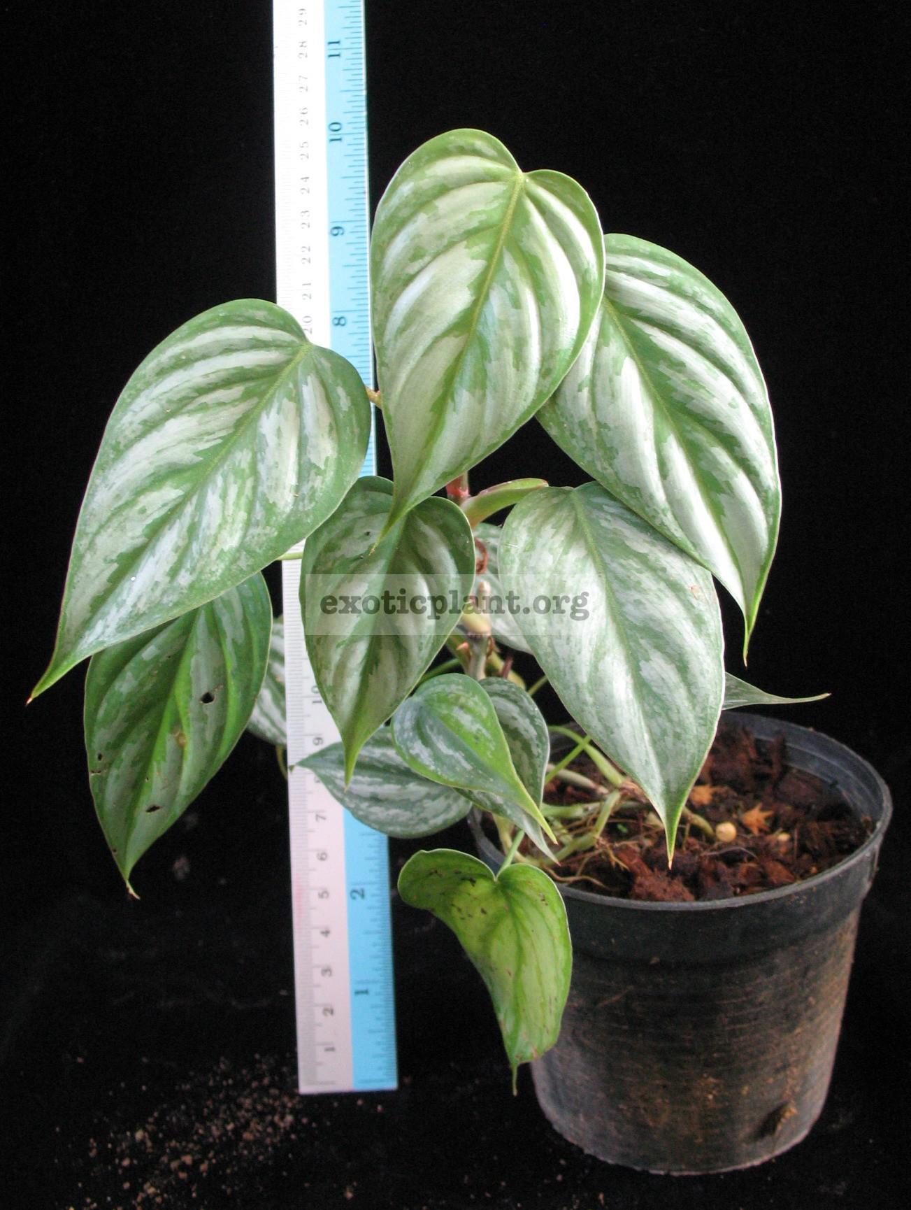Philodendron sodiroi (ornatum) 12