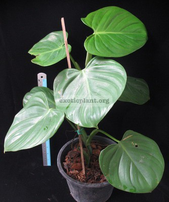 Philodendron sp.(T05) Heart leaf 30