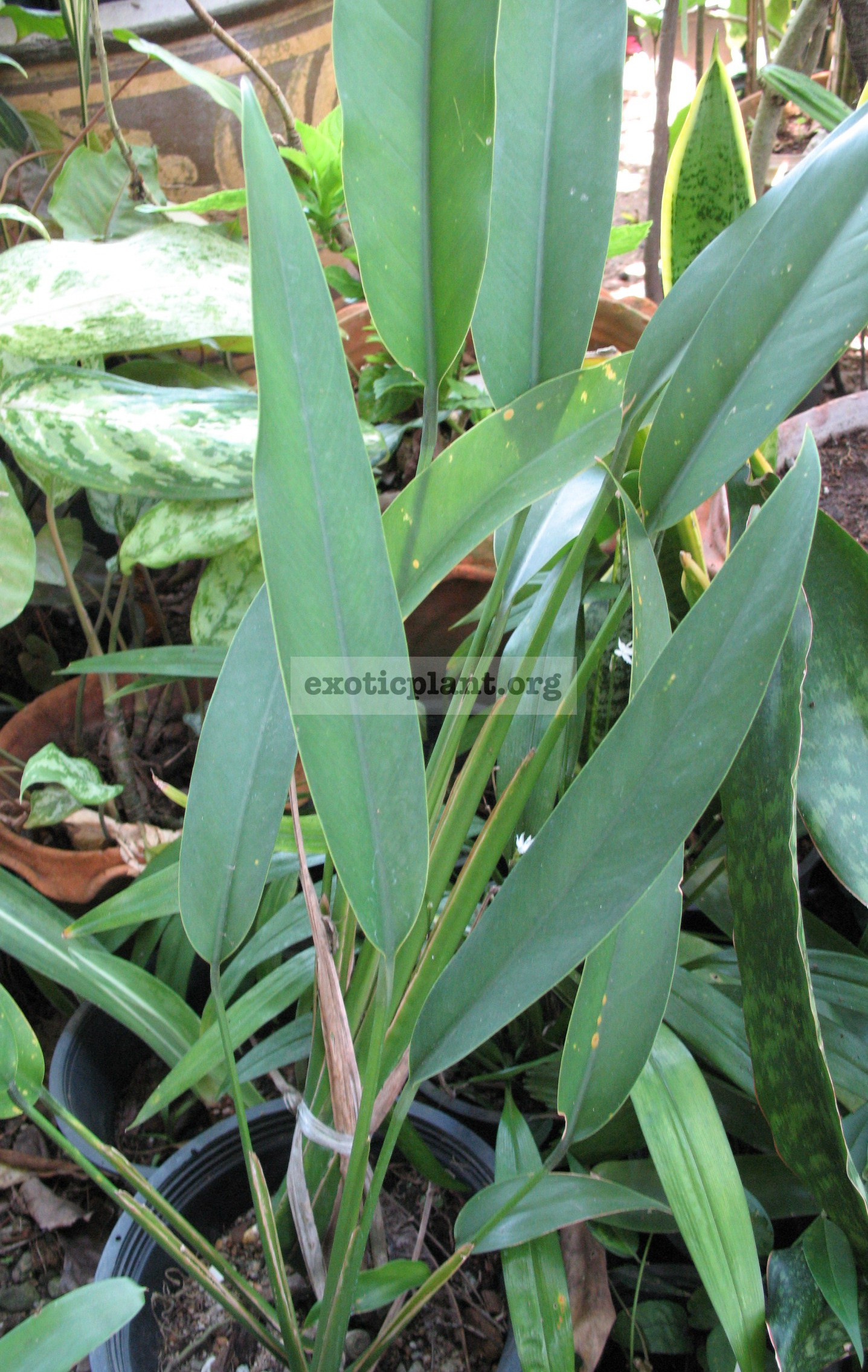 Philodendron sp. (Thailand) 35