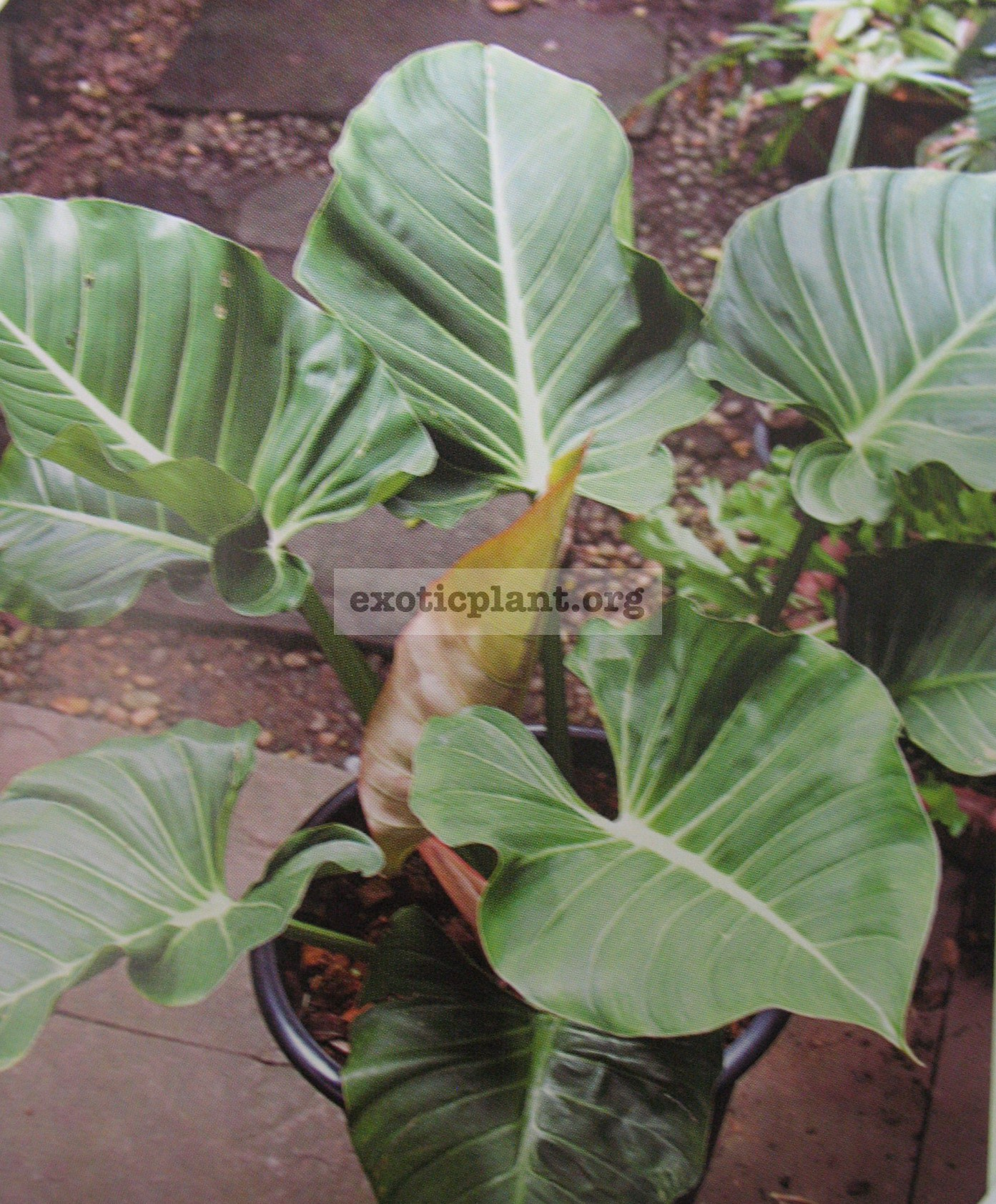 Philodendron sp.(T01)25