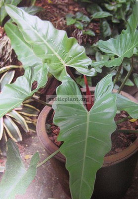 Philodendron sp.(T02) 25