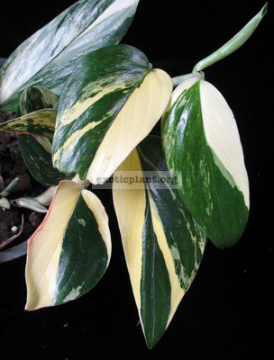 Philodendron sp.(T09) variegated 25-44