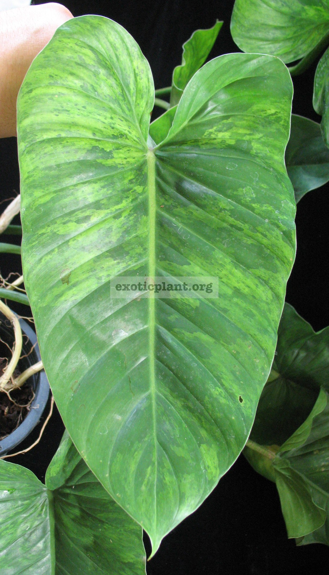 Philodendron sp.(T12) variegated 44