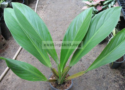 Philodendron sp.(T14) Madagascar 20-35