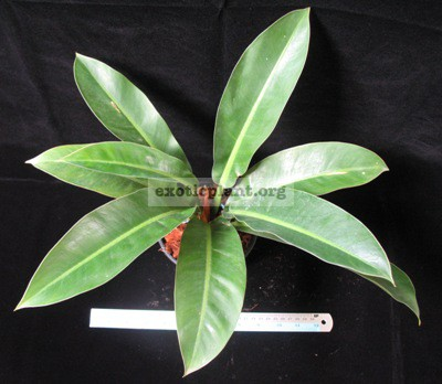 Philodendron sp.(T17) 35
