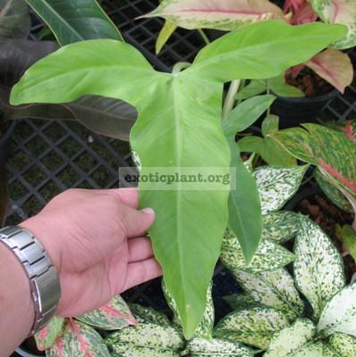 Philodendron sp.(T19) Ecuador 75