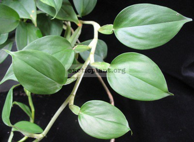 Philodendron sp.(T21) Dwarf 23