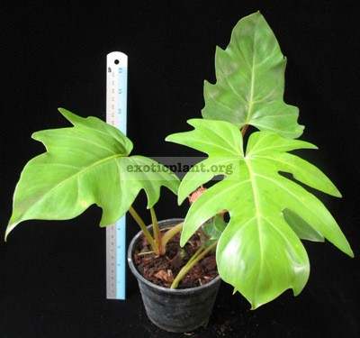 Philodendron sp.(T22) 34