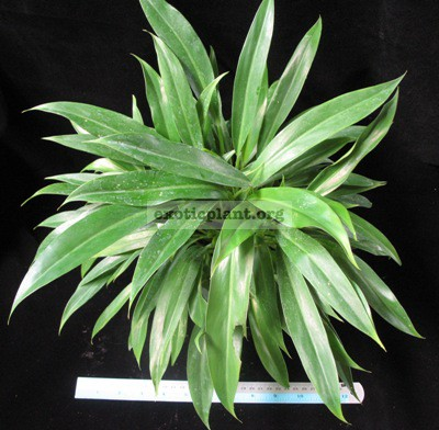 Philodendron sp.(T23)12