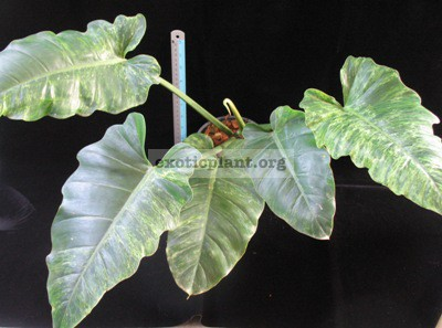 Philodendron sp.(T24) variegated 75
