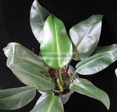 Philodendron sp.(T25) 45