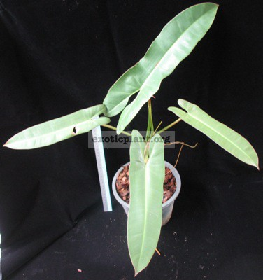 Philodendron sp.(T26) 36