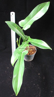 Philodendron sp.(T27) 30