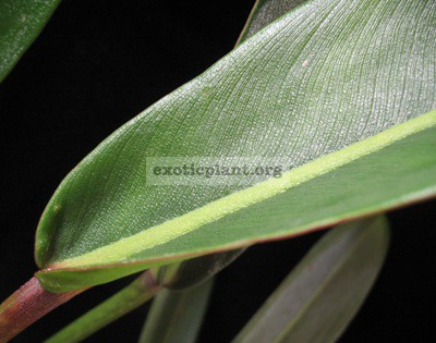 Philodendron sp.(T28) Pig Skin70