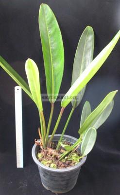 Philodendron sp.(T28 )Pig Skin = P. callosum Venezuela70
