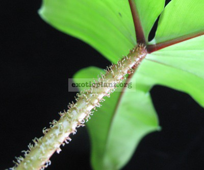 Philodendron sp.(T29) Hairy petiole30