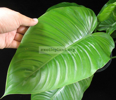 Philodendron sp.(T30) 60