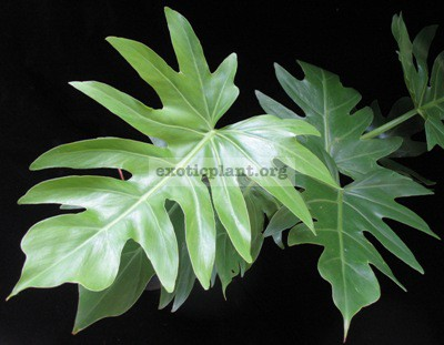 Philodendron sp.(T31) 30
