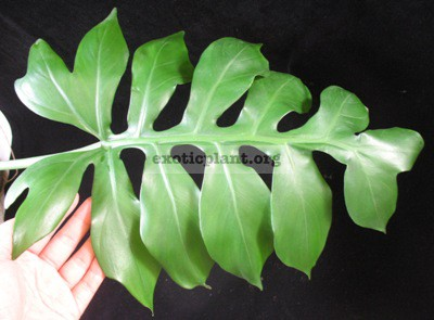 Philodendron sp.(T32) = Philodendron sp. Serrate leaf 20- 45